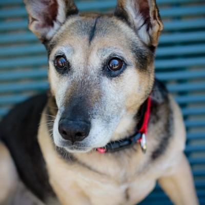 german-shepherd-corgi-shelter-dog-with-cute-big-eyes
